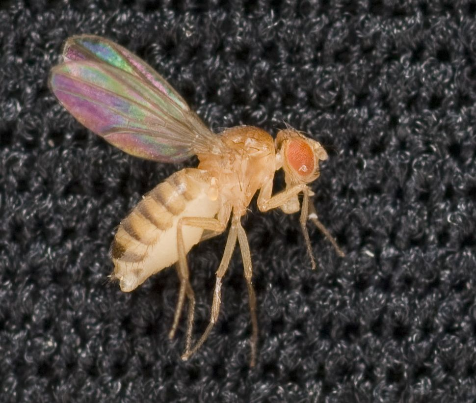 drosophila fruit fly lab essay